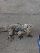 An iguana at the marina when we got back.