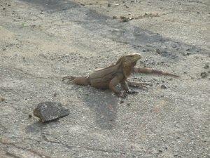 matt kubal - iguana